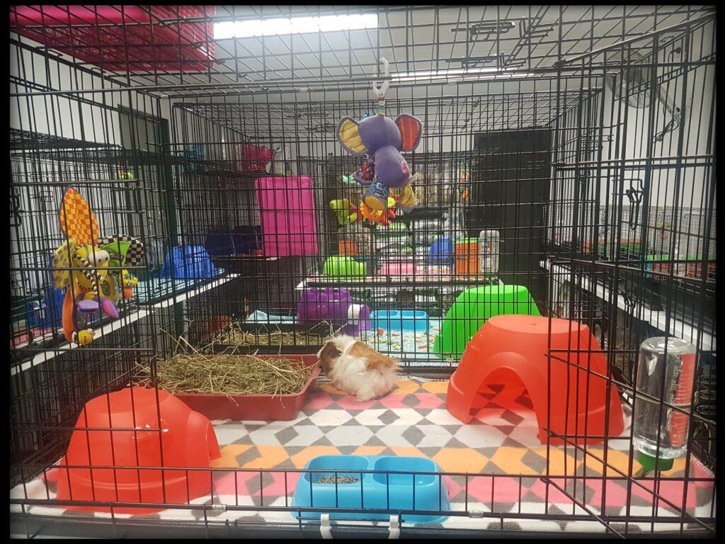 Guinea Pigs Enclosure Example